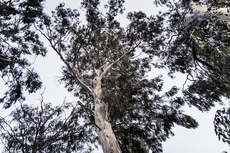 the view from below: View from below on dark eucalyptus tree