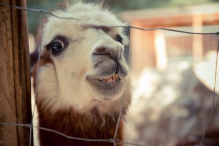 peeking: Lama peeking through the fence and smiling to the camera
