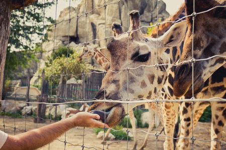 Giraffe bending down to eat of a man hand through the fence