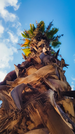 date palm tree: Date palm tree from below
