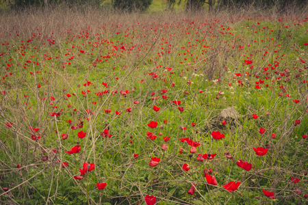 anemones: Field of red anemones Stock Photo