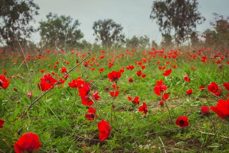 prespective: Field of red anemones Stock Photo