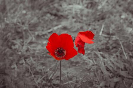 white colour: Closeup red anemone