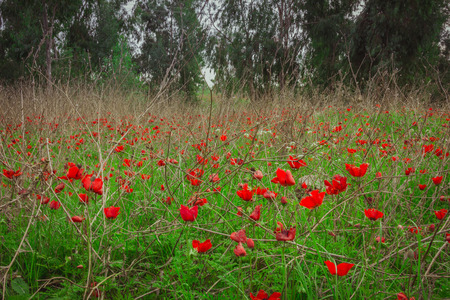 Field of red anemones Stock Photo