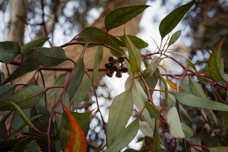 bell flower: Close up on eucalyptus branch with flower buds Stock Photo