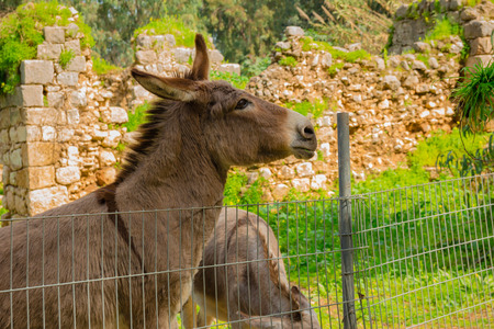 behind: Donkey behind metal fence. Stock Photo