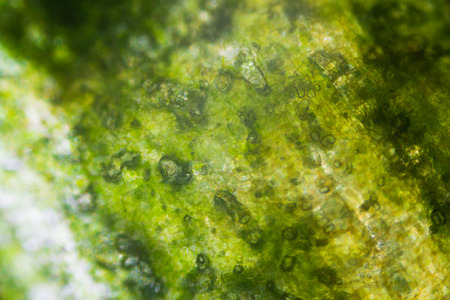 extreme close up: Pickled cucumber under the microscope. Stock Photo
