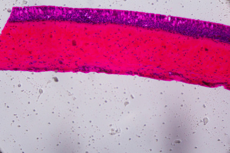 histology: Anodonta gills ciliated epithelium under the microscope - Abstract pink and purple color on white background.