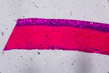 gills: Anodonta gills ciliated epithelium under the microscope - Abstract pink and purple color on white background.