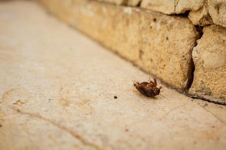 aegyptiaca: Female desert sand cockroach (Arenivaga africana) on its back.