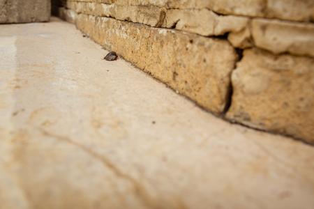 aegyptiaca: Female desert sand cockroach (Arenivaga africana).