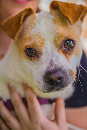 perky: Adorable Jack Russell Terrier dog in the park looking at camera.