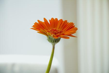 Orange gerbera flower on white background.