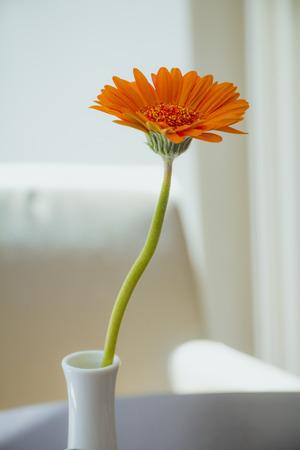 Orange gerbera flower in white vase on white background.