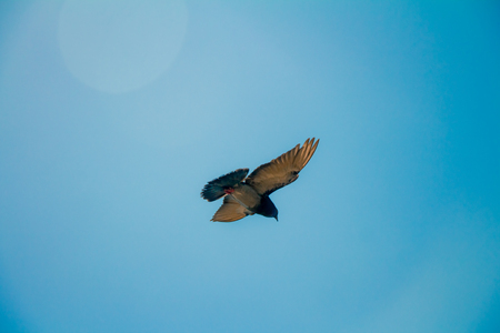 in low spirits: Low angle of a pigeon flying in the sky.