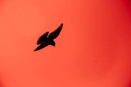 Silhouette of a pigeon flying in the red sky.
