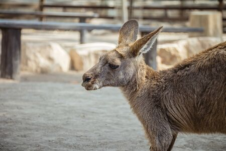 Close up side view of a kangaroo. It looks sad.