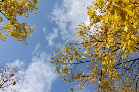 Gele bladeren op bewolkte blauwe hemel Stockfoto - 17041958