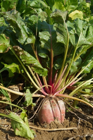 Beet in a field photo