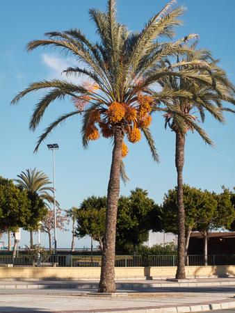 dactylifera: Date tree Phoenix Dactylifera Stock Photo