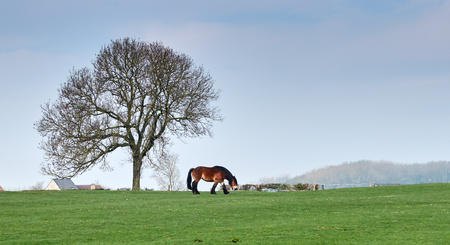 Flemish draft horse in a field with a tree in the background.