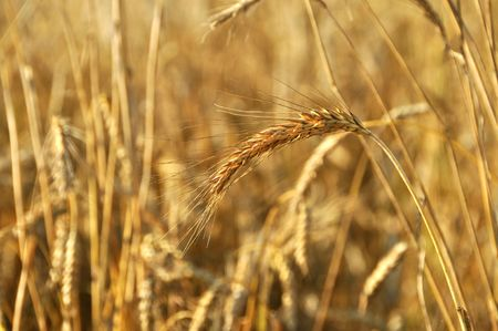 Cereal field of a wheat in the summer. Stock Photo - 7434565