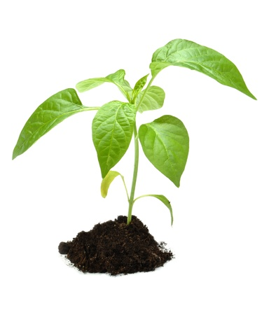Young plant in dark soil isolated on white background. Stock Photo - 8688264