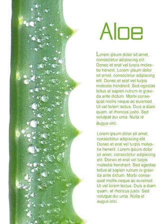 aloe vera: macro of aloe arborescens over white background