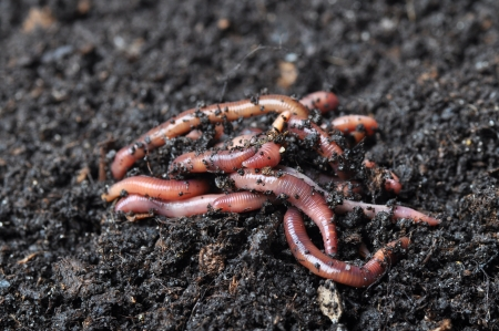 Group of earthworms   Stock Photo