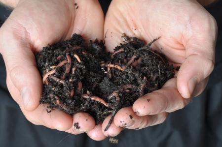 gusano: Grupo de las lombrices de tierra en las manos Foto de archivo