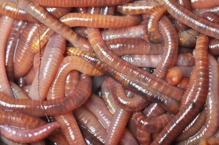 Group of earthworms   photo
