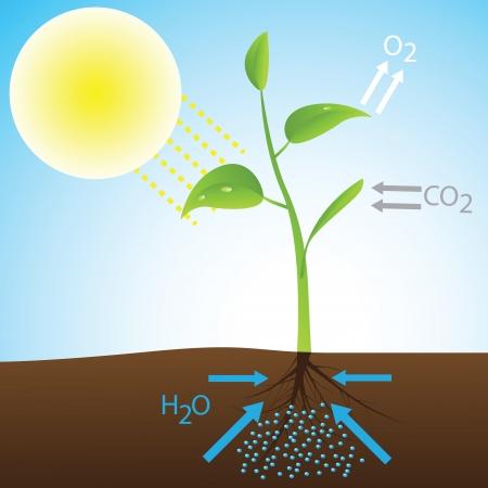 Scheme of photosynthesis Stock Vector - 23075672