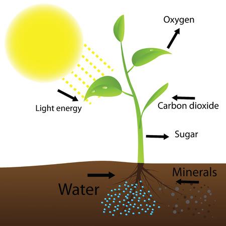 dioxido de carbono: Esquema de la fotosíntesis Vectores