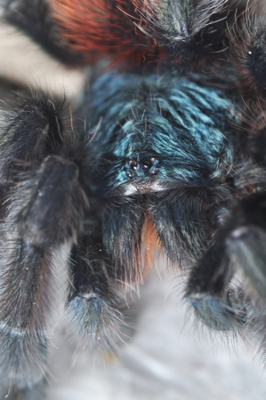Avicularia versicolor (Pinktoe tarantula) on spiderweb photo