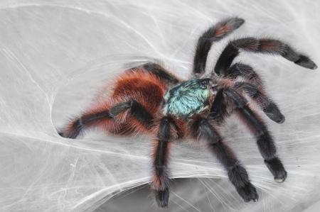 versicolor: Avicularia versicolor (Pinktoe tarantula) on spiderweb