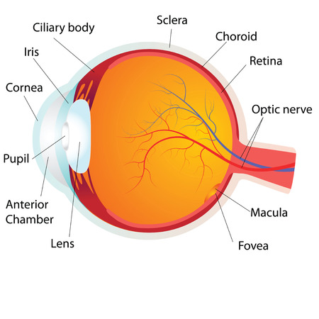 human eye: Human eye anatomy,vector illustration