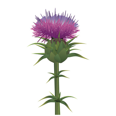 thistle plant: Milk thistle , Silybum marianum isolated on white. Vector illustration