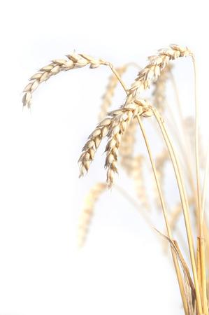 espiga de trigo: Trigo aislado sobre fondo blanco Foto de archivo