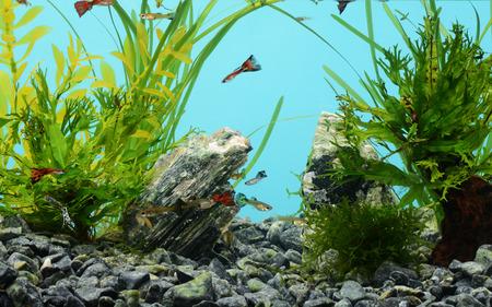 aquarium eau douce: Aquarium d'eau douce tropicale avec des poissons