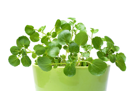 Watercress isolated on white background photo