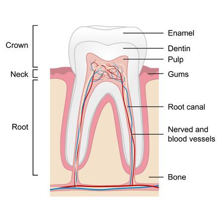 estructura: anatomía del diente humano aislado en el fondo blanco, ilustración