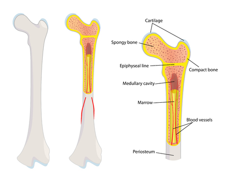cartilage: Human bone anatomy, illustration