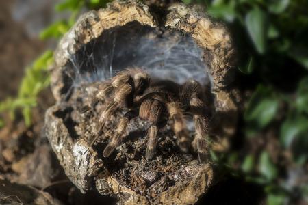 Tarantula (Nhandu coloratovillosus) adult female at the entrance to burrow