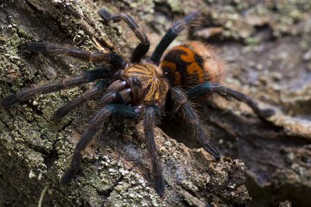 Close-up of a young  greenbottle tarantula (Chromatopelma cyaneopubescens)
