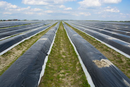 Asparagus field Zdjęcie Seryjne