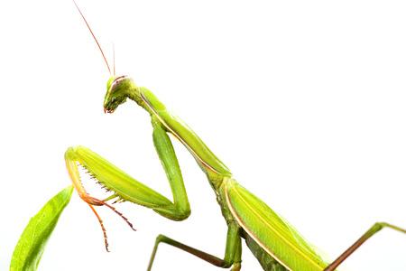 european mantis: European Mantis or Praying Mantis, Mantis religiosa, on plant. Isolated on white background
