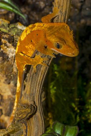 A female crested gecko Correlophus ciliatus