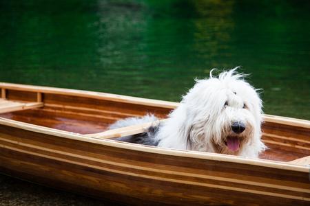 An old english sheepdog waiting in a canoe