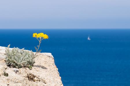 Une fleur d'immortelle surplombant la mer au bord du château de Calvi, Corse