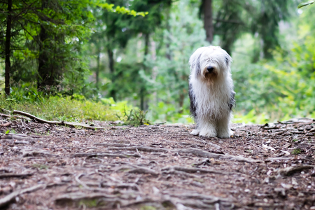 An old sheepdog is waiting for its owner to follow the path through the forest